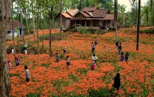 Taman-bunga-amaryllis-Gunungkidul-@kota_jogja